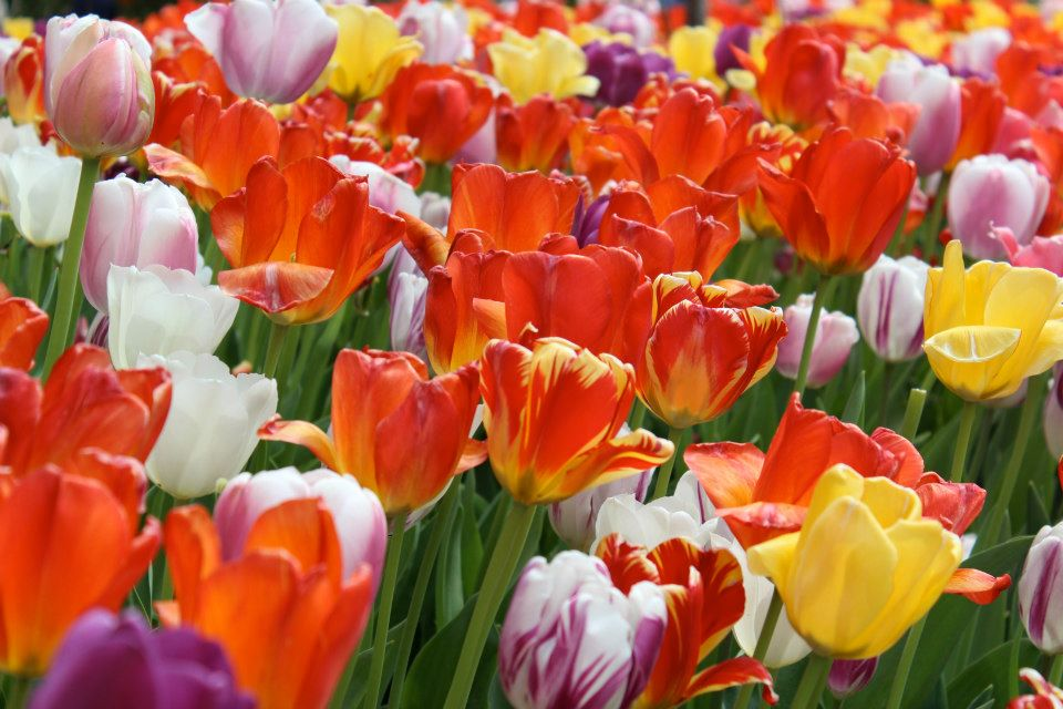 blooming tulips at the zoo