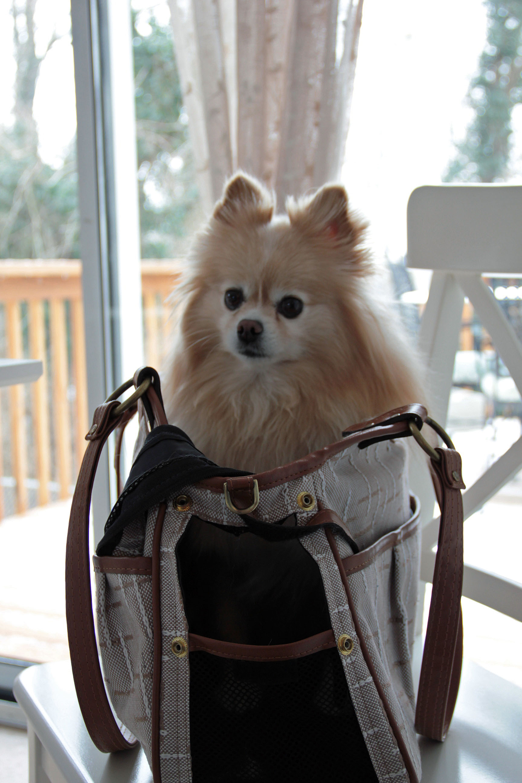 aslan pomeranian in purse